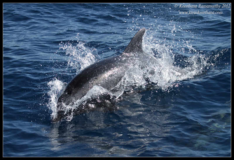 Pacific Bottlenose Dolphin diving, Whale Watching trip, San Diego County, California, November 2012