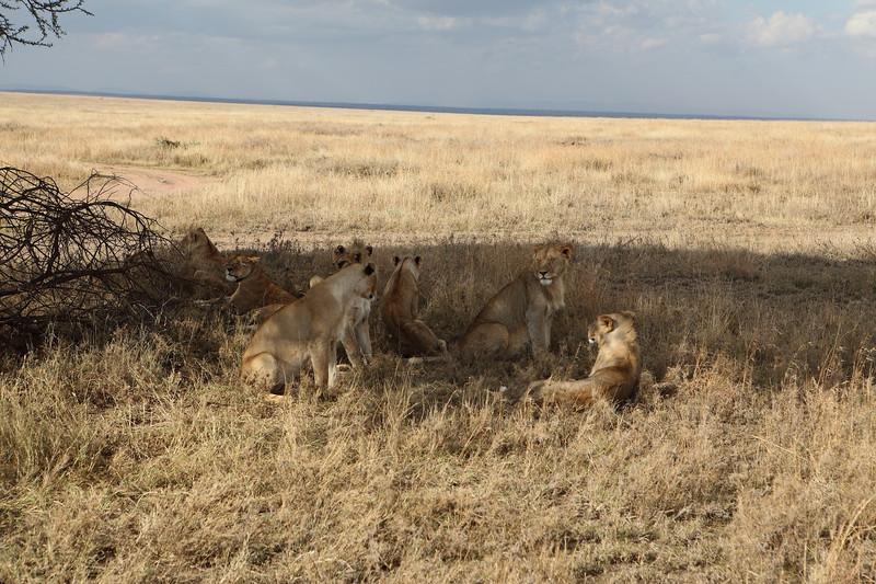 8 Lions.JPG
