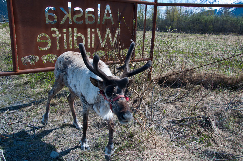 One of the reindeer at the conservation center.