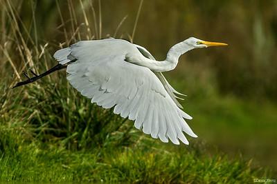 White Heron-Egret