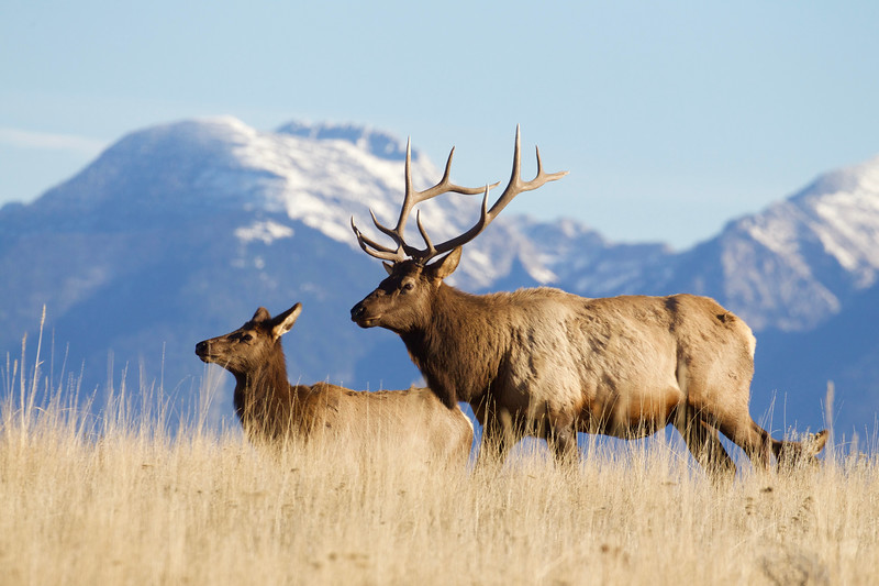 Rocky Mountain Elk with the Mission Mountains as a backdrop.