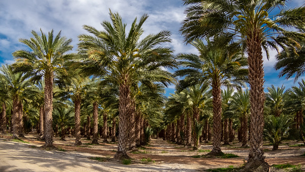 Date Palms of The Sultan Sea