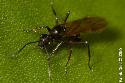 Black Trunk Ant