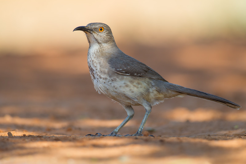 Curve-billed Thrasher - Edinburg, TX, USA