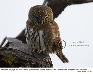 NorthernPygmyOwl15848.jpg