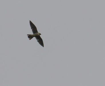 Muuttohaukka (Falco peregrinus)