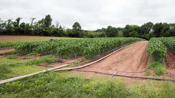 06/14/18 Wesley Bunnell | Staff Cold Spring Brook Farm in Berlin uses four inch diameter metal pipe to connect to overhead sprinklers for the corn crops while the black rubber hoses connect to smaller soaker hoses which run underneath plastic tarp to help control weeks and contain moisture.