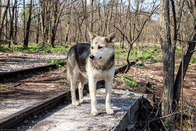 Tschernobyl Dogs