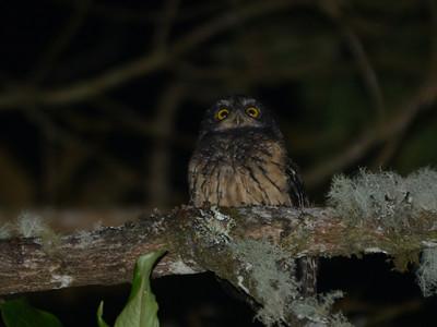 White-throated Screech-Owl