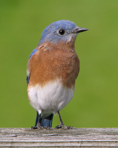 bluebird_fledgling_9741_1.jpg