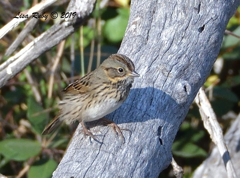 Lincoln's Sparrow 11/16/2019 - Mt Laguna, Water Trough West Meadow