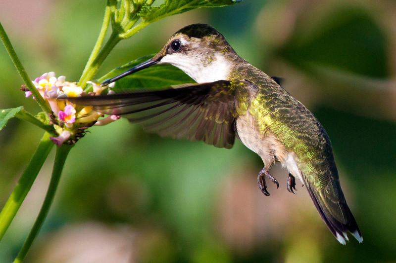 hummingbirdandlantana14.jpg