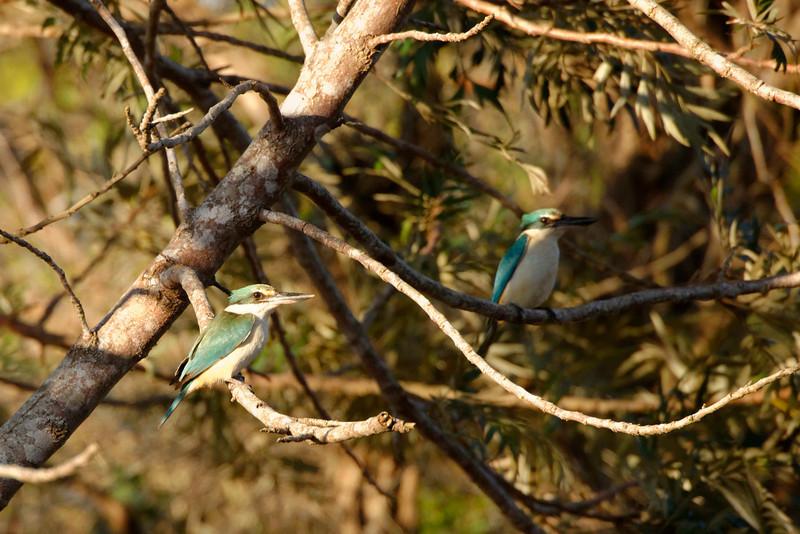 A pair of Sacred Kingfisher (Todiramphus sanctus).
