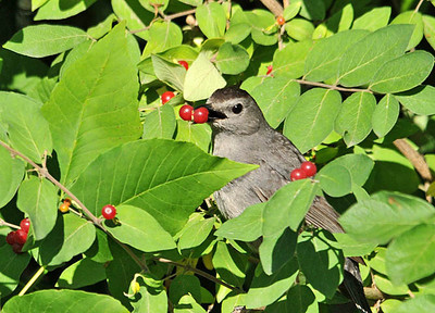 Catbird Photos - Most Popular