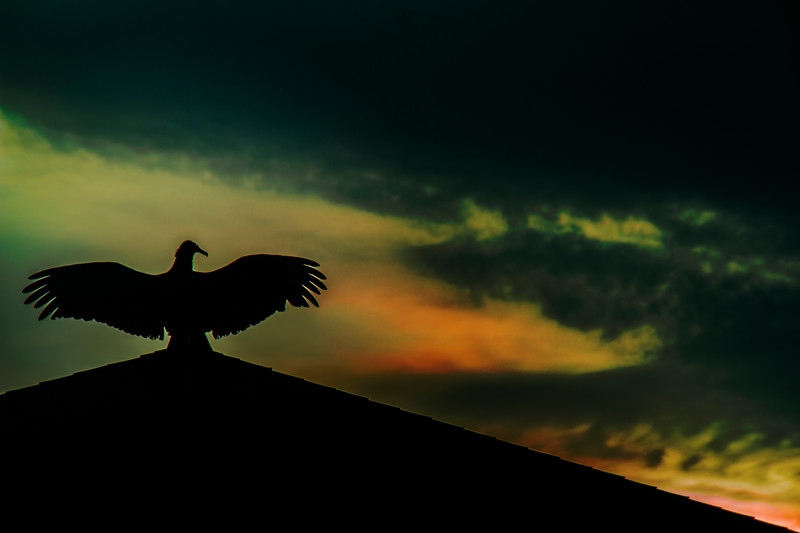 7.28.17 - Prairie Creek Recreation Area: Black Vulture