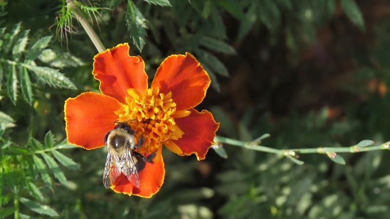 sx50_flora_fauna_bumblebee_marigold_427.jpg
