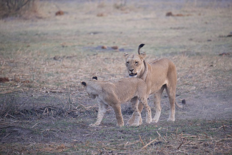 Lion mother and cubs, Selinda Explorer camp, Botswana