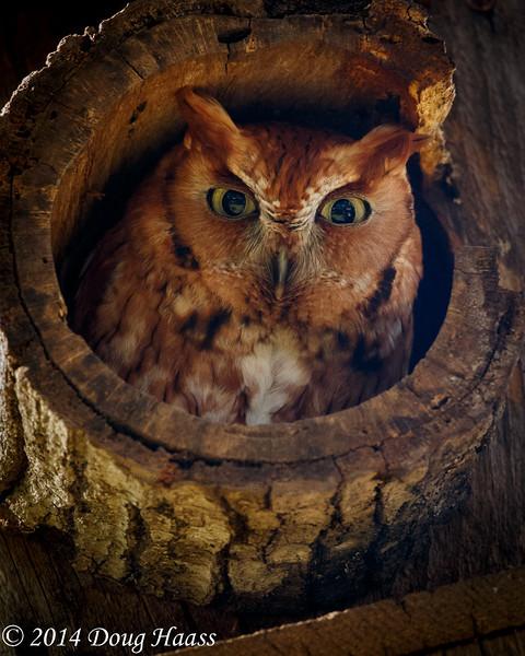 Rufous (Red) Morph Eastern Screech Owl