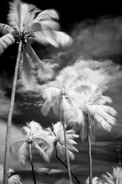 Fiji Palm