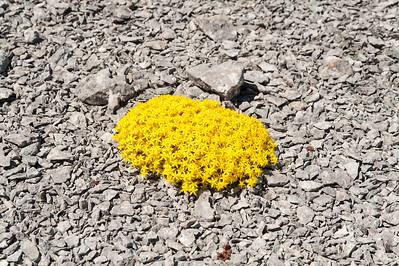 Crassulaceae Fetbladsväxter