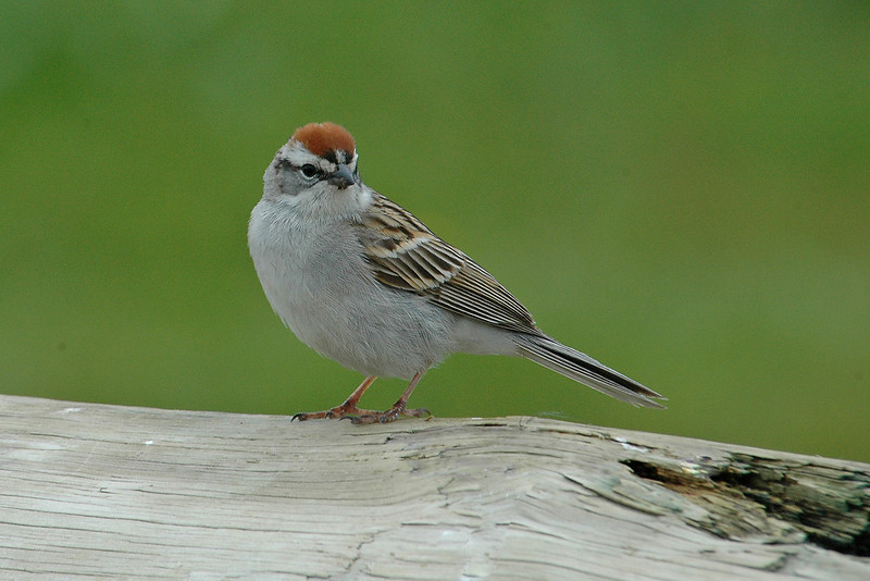 Sparrow - Chipping - Machais Seal Island - ME