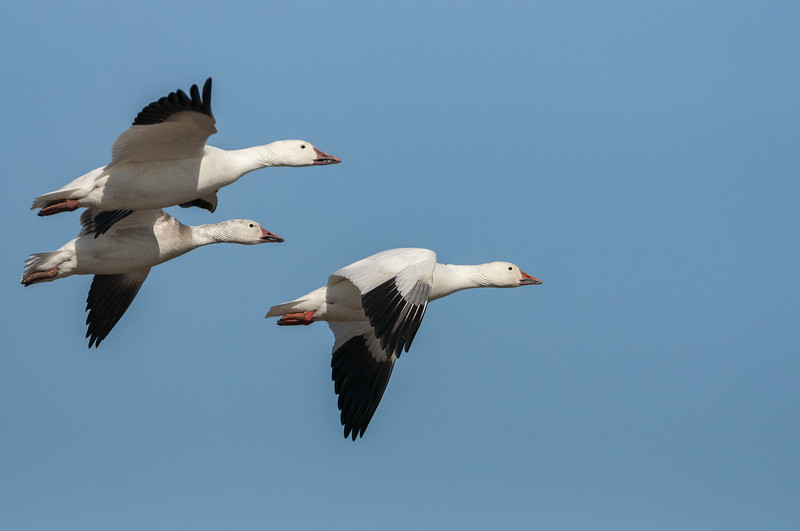 Snow Geese in Flight Eleven.jpg