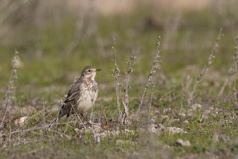 American Pipit - Panoche Valley, CA, USA