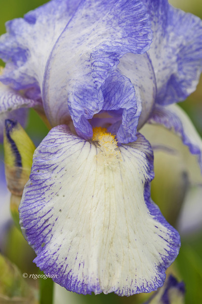 Bearded Iris Queen Dorothy