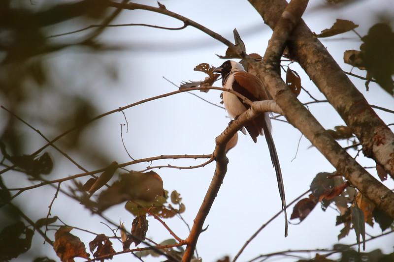 White-bellied Treepie (Dendrocitta leucogastra)