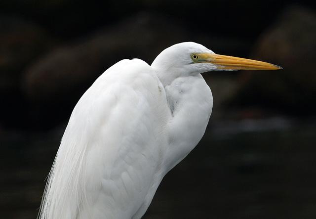 margaret webb egret Taken in King Harbor near the bait barge. Olympus e330, Zuiko 50-200mm lens.f8 1/320.