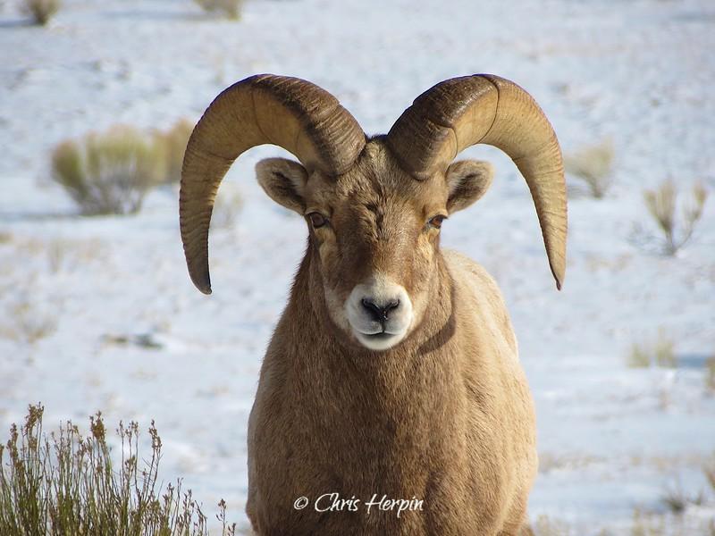 Big Horn Sheep, Wyoming
