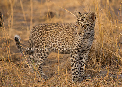 Leopards and Cheetah