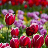 Tulips at the Botanical Gardens in Dublin.