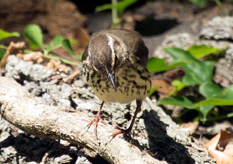 northernwaterthrush1.JPG