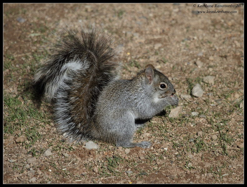 Arizona Gray Squirrel at Santa Rita Lodge, Madera Canyon, Arizona, November 2011