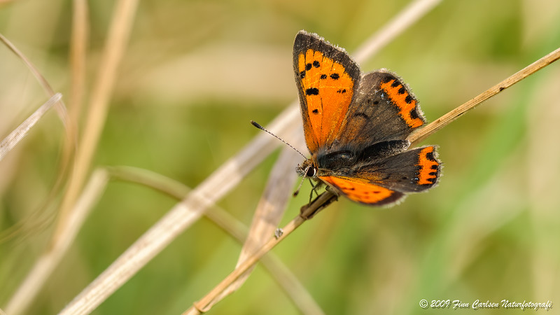 Lille ildfugl (Lycaena phlaeas - Small Copper)