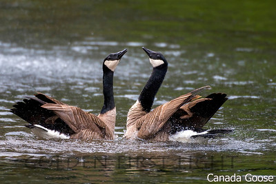 Canada Goose, Chrystal Springs, Portland OR, USA