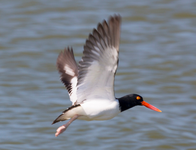 American Oyster Catcher in flight