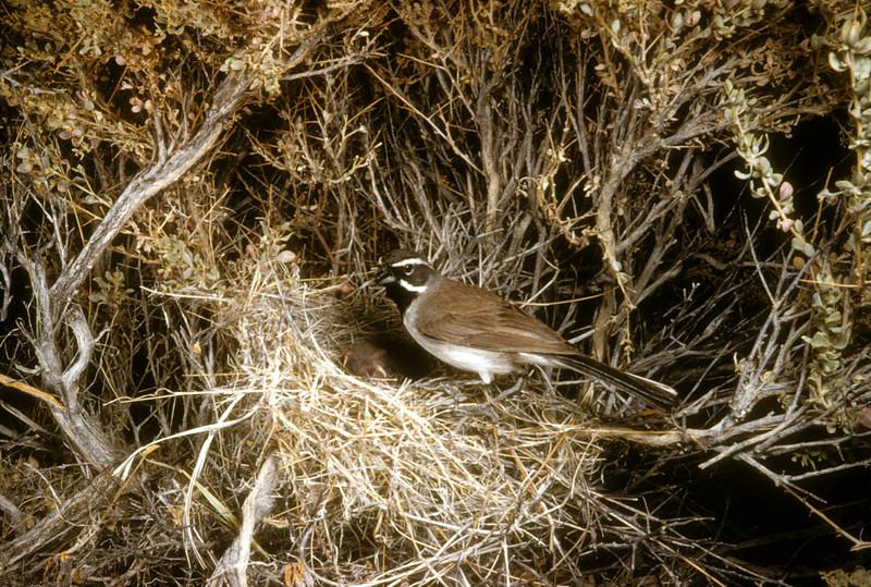 Black-throated Sparrow (Amphispiza bilineata), Utah, 1953