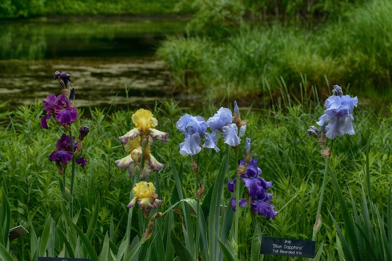 Iris 1 Arboretum.jpg