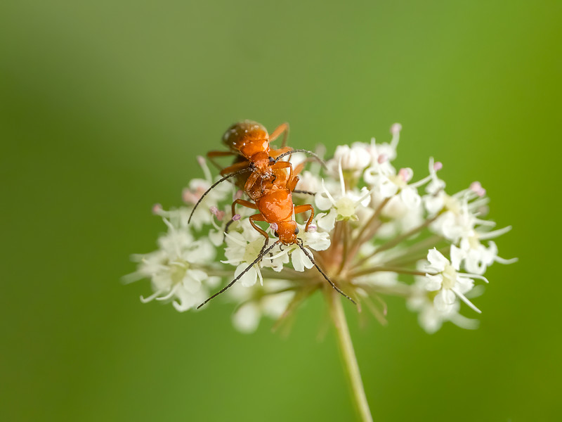 mating Common red soldier beetles