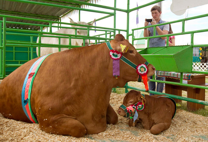 . A cow and its calf  at an international agricultural exhibition near Minsk, Belarus, June 5, 2013.    REUTERS/Vasily Fedosenko