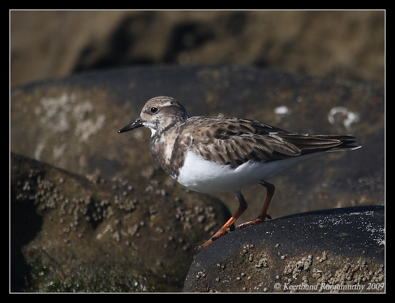 Ruddy Turnstone, La Jolla Cove, San Diego County, California, February 2009