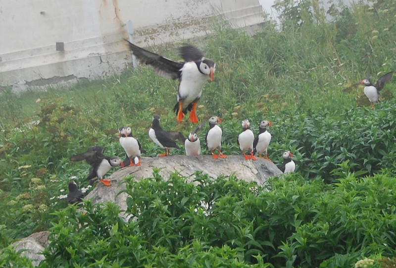 Machias Seal Island Trip - 075