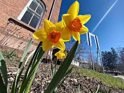 Daffodils - 040721