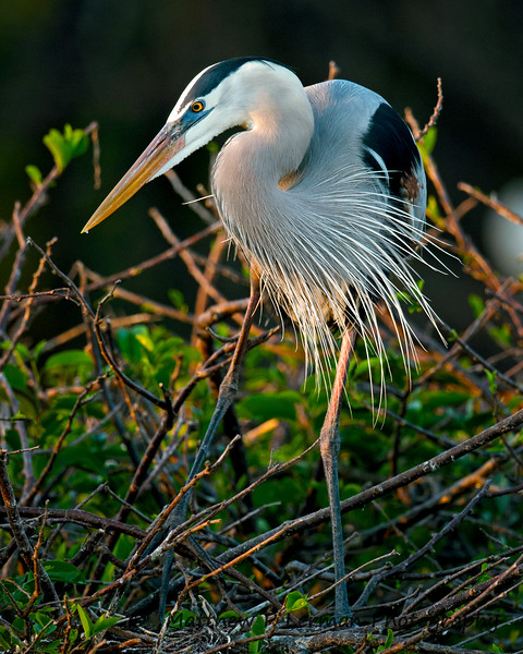 Great Blue Heron Sunrise_6134.jpg