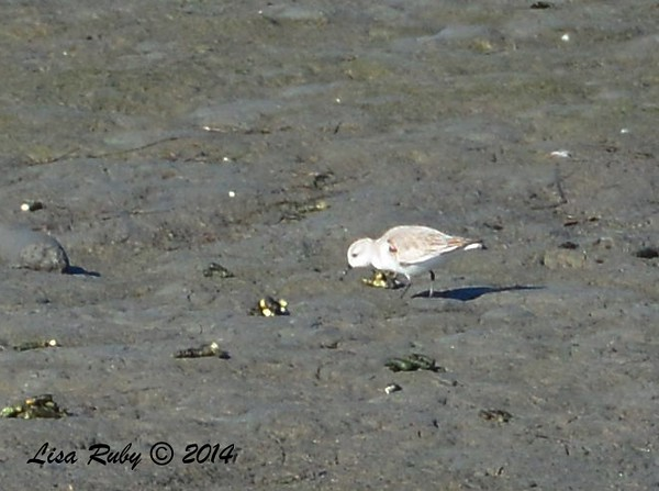 Think this is a Sanderling - 12/29/2014 - Robb Field