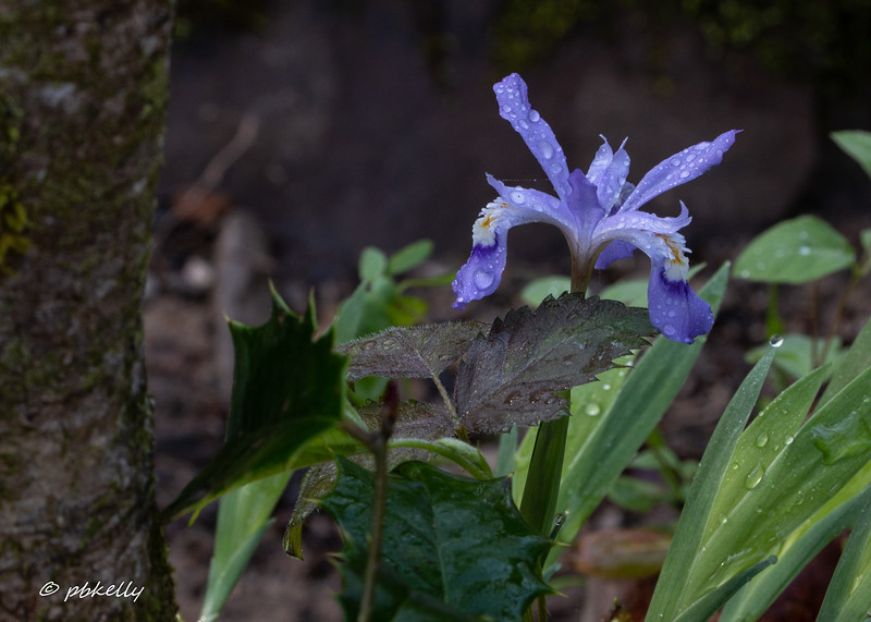 Dwarf Crested Iris amid assorted leaves
