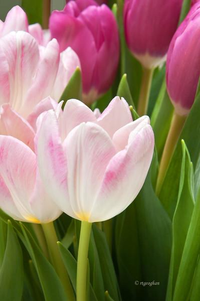 Pink Tulips_Mar 23_0467.jpg