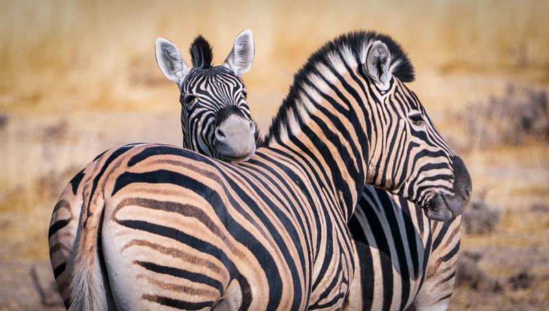 Zebra Friends in Etosha
